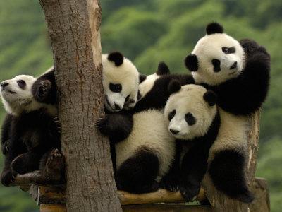 https://imgc.artprintimages.com/img/print/giant-panda-babies-wolong-china-conservation-and-research-center-for-the-giant-panda-china_u-l-p2u9bc0.jpg?p=0