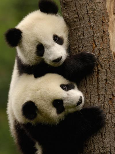 Giant Panda Babies, Wolong China Conservation and Research Center for the Giant Panda, China-Pete Oxford-Photographic Print