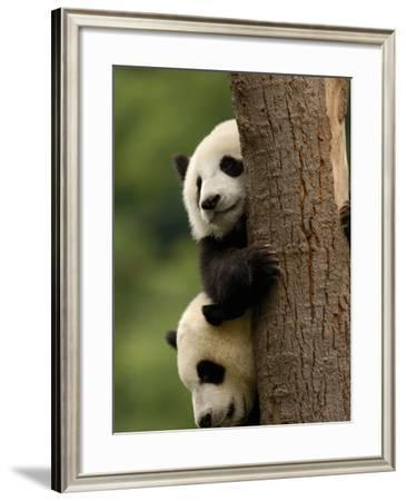 Giant Panda Babies, Wolong China Conservation and Research Center for the Giant Panda, China-Pete Oxford-Framed Photographic Print
