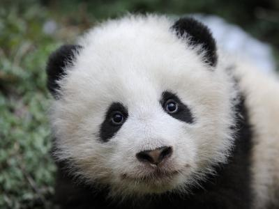 Giant Panda Baby, Aged 5 Months, Wolong Nature Reserve, China-Eric Baccega-Photographic Print