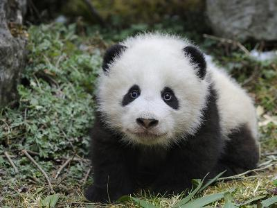 Giant Panda Baby Aged 5 Months, Wolong Nature Reserve, China-Eric Baccega-Photographic Print