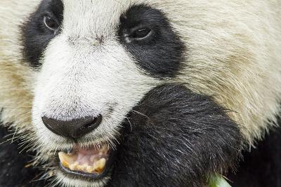 Giant Panda, Chengdu, China-Paul Souders-Photographic Print