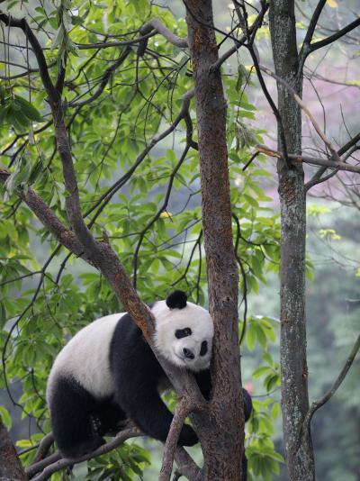 Giant Panda Climbing in a Tree Bifengxia Giant Panda Breeding and Conservation Center, China-Eric Baccega-Photographic Print