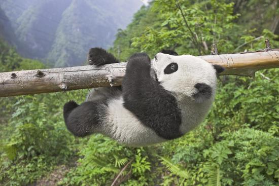 Giant Panda Cub Hanging from Tree Trunk-Frank Lukasseck-Photographic Print