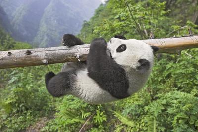 https://imgc.artprintimages.com/img/print/giant-panda-cub-hanging-from-tree-trunk_u-l-pzo3xj0.jpg?p=0