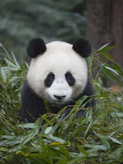 Giant panda cub in forest-Keren Su-Photographic Print