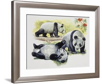 Giant Panda Cubs (Ailuropoda Melanoleuca), Ursidae--Framed Giclee Print