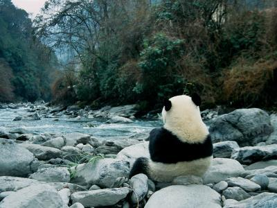 Giant Panda Eating Bamboo by the River, Wolong Panda Reserve, Sichuan, China-Keren Su-Photographic Print