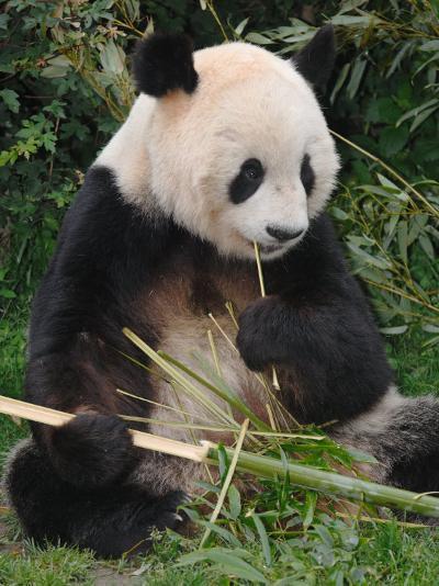 Giant Panda, Eating Bamboo-Eric Baccega-Photographic Print