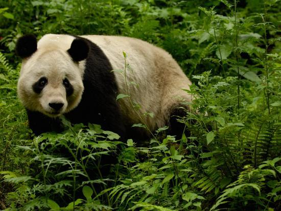 Giant Panda Family, Wolong China Conservation and Research Center for the Giant Panda, China-Pete Oxford-Photographic Print