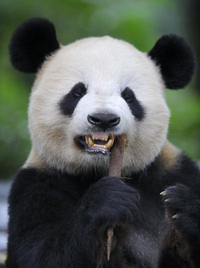 Giant Panda Feeding on Bamboo at Bifengxia Giant Panda Breeding and Conservation Center, China-Eric Baccega-Photographic Print