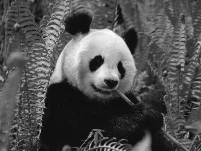 Giant Panda Feeding, Qionglai Mtns, Sichuan, China-Lynn M^ Stone-Photographic Print