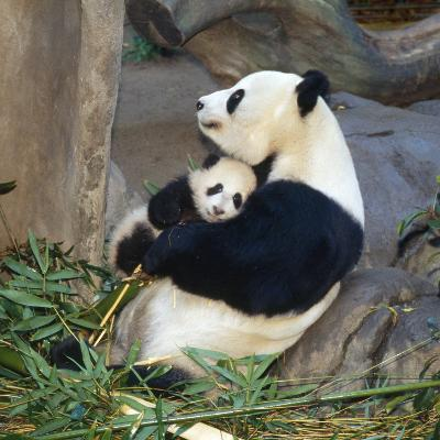 Giant Panda Female Holding Four Month Old Young--Photographic Print