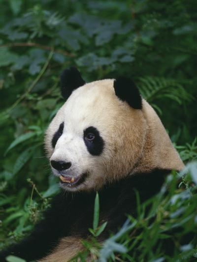 Giant Panda in Forest--Photographic Print
