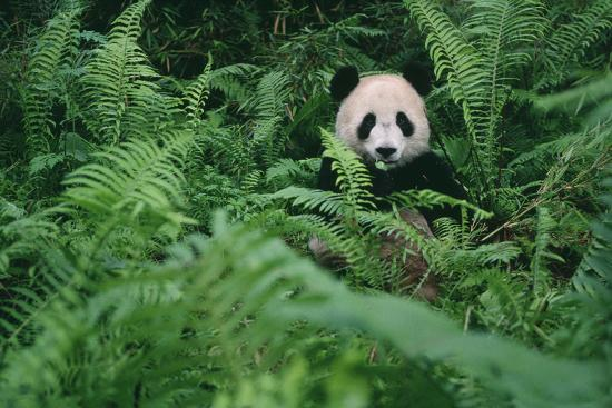 Giant Panda in Forest-DLILLC-Photographic Print