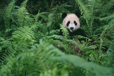 https://imgc.artprintimages.com/img/print/giant-panda-in-forest_u-l-pzr3nk0.jpg?p=0