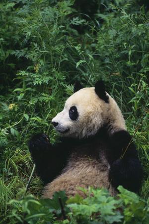 https://imgc.artprintimages.com/img/print/giant-panda-in-forest_u-l-pzra6q0.jpg?p=0