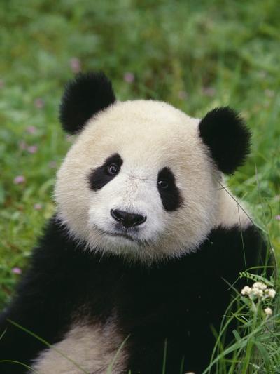 Giant Panda in Grass--Photographic Print
