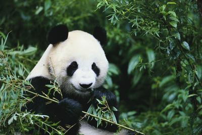 https://imgc.artprintimages.com/img/print/giant-panda-in-the-forest_u-l-pzr8tr0.jpg?p=0