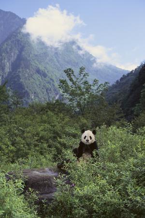 https://imgc.artprintimages.com/img/print/giant-panda-in-the-forest_u-l-pzr9iv0.jpg?p=0