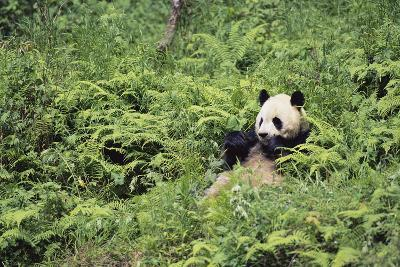 Giant Panda in the Forest-DLILLC-Photographic Print