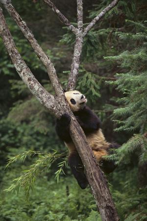 https://imgc.artprintimages.com/img/print/giant-panda-in-the-forest_u-l-pzrdrt0.jpg?p=0