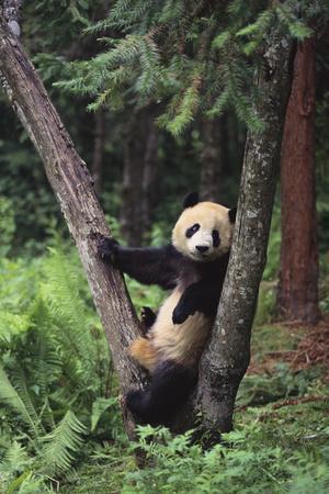 https://imgc.artprintimages.com/img/print/giant-panda-in-the-forest_u-l-pzrdyo0.jpg?p=0