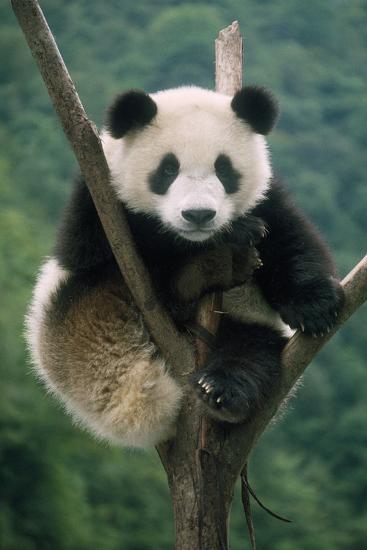 Giant Panda Juvenile Sitting in Tree Fork--Photographic Print