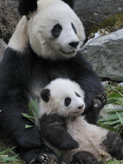 Giant Panda Mother and Baby, Wolong Nature Reserve, China-Eric Baccega-Photographic Print