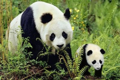 Giant Panda Mother and Young Cub--Photographic Print