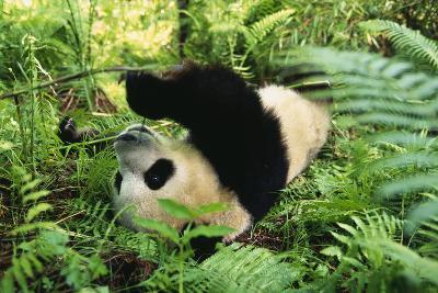 Giant Panda Rolling on Forest Floor-DLILLC-Photographic Print