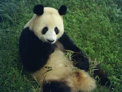 Giant Panda, Sichuan Province, China-Jane Sweeney-Photographic Print