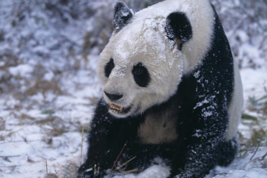 Giant Panda Sitting in Snow-DLILLC-Photographic Print