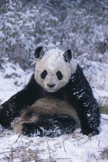 Giant Panda Sitting in Snow-DLILLC-Photographic Print
