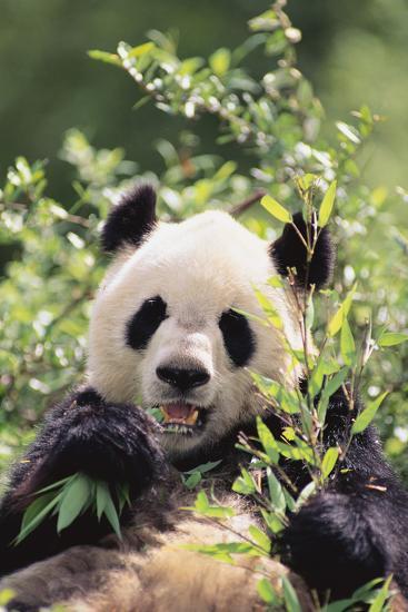 Giant Panda-DLILLC-Photographic Print