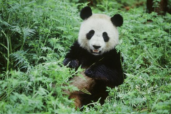 Giant Panda--Photographic Print