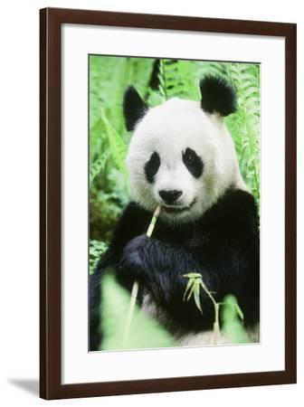 Giant Panda--Framed Photographic Print