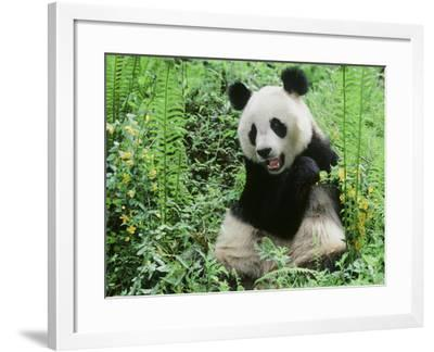 Giant Panda--Framed Photographic Print