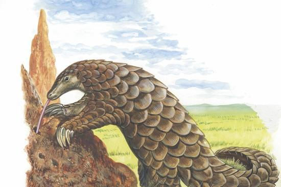 Giant Pangolin Manis Gigantea Catching Ants--Giclee Print