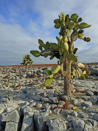 Giant Prickly Pear Cactus (Opuntia Spp.)-Manfred Gottschalk-Photographic Print
