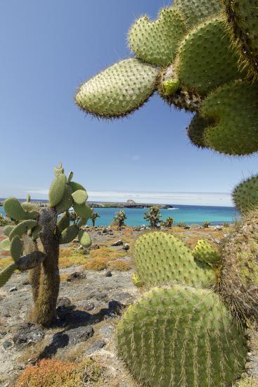 Giant Prickly Pear Cactus, South Plaza Island, Galapagos, Ecuador-Cindy Miller Hopkins-Photographic Print
