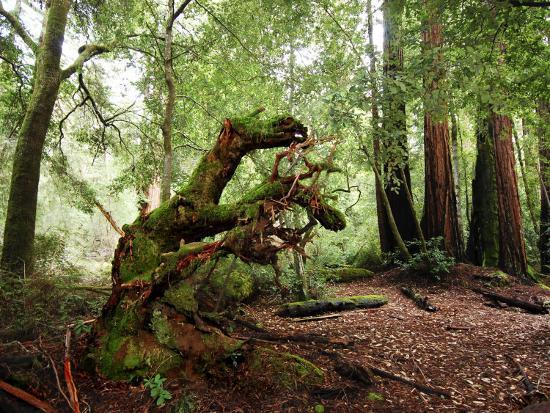 Giant Redwood Tree Root Ball, Looking Like a Leaping Horse-Raymond Gehman-Photographic Print