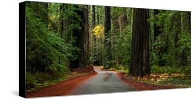 Giant Redwood trees along a forest, Humboldt Redwoods State Park, California, USA