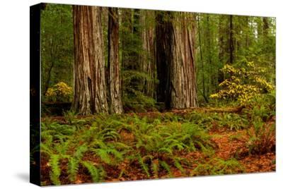 Giant Redwood trees and ferns leaves in a forest, Humboldt Redwoods State Park, California, USA