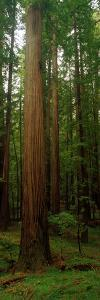 Giant Redwood Trees Ave of the Giants Redwood National Park Northern CA