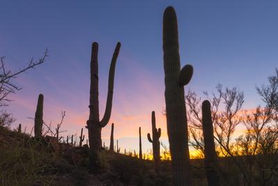 https://imgc.artprintimages.com/img/print/giant-saguaro-cactus-carnegiea-gigantea-at-dawn-in-the-sweetwater-preserve-tucson-arizona-unit_u-l-q1bryoe0.jpg?p=0