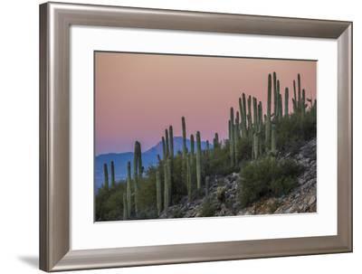 Giant Saguaro Cactus (Carnegiea Gigantea), Tucson, Arizona-Michael Nolan-Framed Photographic Print
