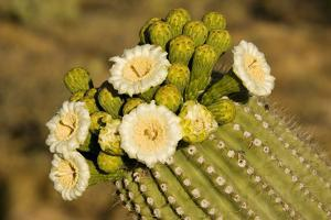 Giant Saguaro with Buds and Flowers