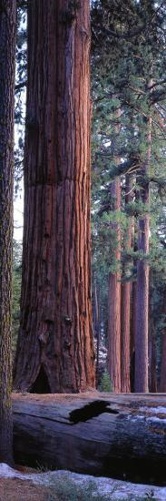Giant Sequoia, Robert E-Jeff Foott-Photographic Print