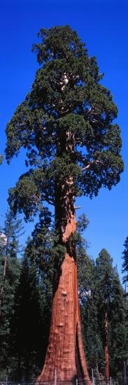 Giant Sequoia Stands Tall-Jeff Foott-Photographic Print